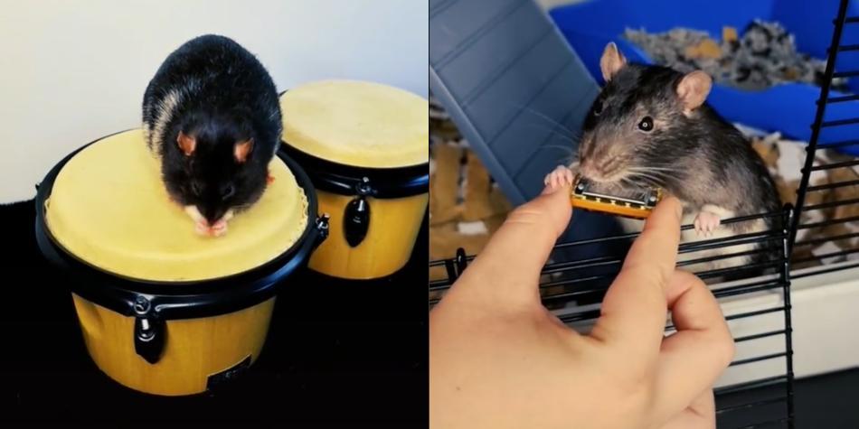 Mister Blik: la rata que toca instrumentos musicales